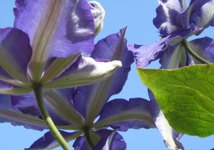 Gartengestaltung mit Kletterpflanzen wie Clematis