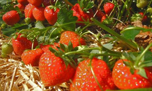 horticultura-Tipp: Aromatische Erdbeersorten
